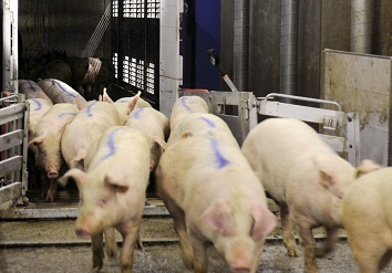 Handling of pigs in batches